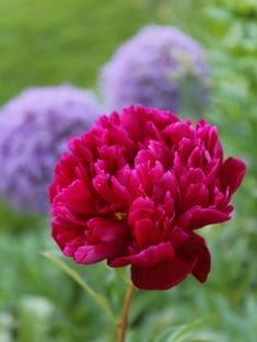 Flower Garden 5 Tips for Growing Peonies - Longfield Gardens - Peonies are one of America's best-loved perennials. If you're thinking about growing peonies, here are some tips to help ensure your success. Organic Gardening, Gardening Tips, Balcony Gardening, Urban Gardening, Growing Peonies, Red Peonies, Home Vegetable Garden, Peonies Garden, Landscaping Tips