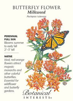 Perennial. Butterflies will seek out your garden when you have this vigorous perennial, shrub-like plant; you can observe the life cycle of the Monarch butterfly! Beginning in late spring, you will be
