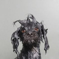 New York photographer Sophie Gamand has spent the last four years photographing dogs as part of a larger project to better understand humans. Her latest series, Wet Dog, captures hilarious and awkward photos of small dogs as they are bathed with the help of professional groomer Ruben Santana in the