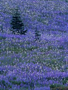 Lupine and Bistort Meadow in Paradise Valley, Mt. Rainier National Park, Washington.
