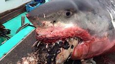 GREAT WHITE SHARK BEACHES IN CAPE COD Amazing Footage!!! - YouTube
