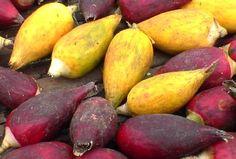 Aframomum melegueta: Ripe fruits of Grains of Paradise.
