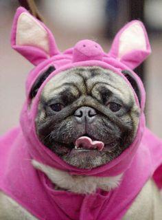 Perro disfrazado de cerdo.