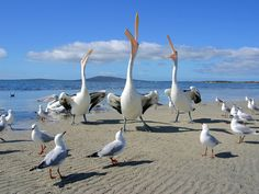 Birds On Beach - Pelicans & Seagulls