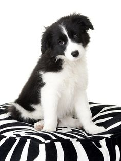 Best Photographs Border Collies zwart wit Popular The Edge Collie hails from the borderlands of The united kingdom and Scotland (hence the brand! White Puppies, White Dogs, Dogs And Puppies, Doggies, Border Collie Puppies, Collie Dog, West Highland Terrier, Animals Beautiful, Cute Animals