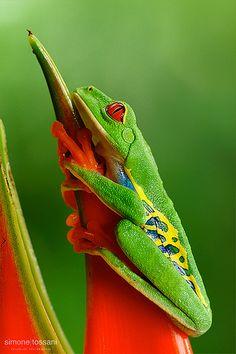 Red eyed tree frog (agalychnis callidryas)
