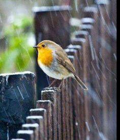 Bajo la lluvia, su canto...