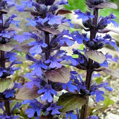 Ajuga Reptans 'Bronze Beauty', Bugle 'Bronze Beauty', Carpet Bugle 'Bronze Beauty', Ajuga 'Bronze Beauty', Bugleweed 'Bronze Beauty', Carpetweed 'Bronze Beauty'