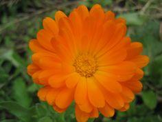 Calendula October flower