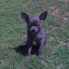 Cute blue chihuahua :) I have one of these! Weighs less than a pound :)