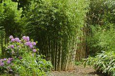 clumping bamboo screen - Google Search