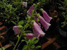 Foxglove Camelot Lavender