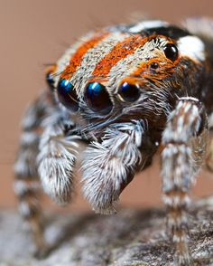 Peacock spider (Maratus volans) photographed by Jurgen Otto