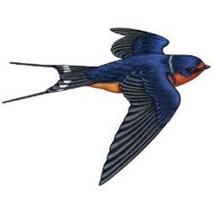 Barn Swallow Flight Illustration