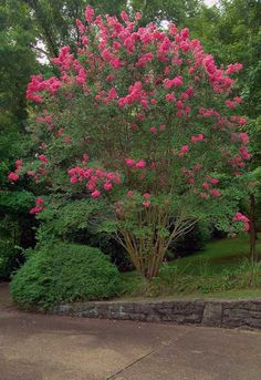 Beautiful Crape Myrtle Tree...hope   I'm spelling that right, I don't see these in NY.