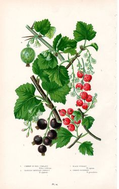 1899 Botanical Print Fruit Red Black Currants by AntiquarianPrints, $10.00