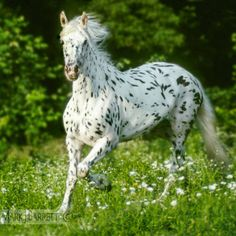 Friesian Appaloosa horse