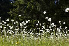 Daisies in Olympic National Park, WA by Katina Houvouras