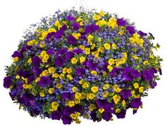 Finders Keepers from Proven Winners: Lobelia Lucia Dark Blue, Calibrachoa Superbells Yellow, Petunia Supertunia Royal Velvet - lovely combination, will have to remember if i do the hanging pots Hanging Flower Baskets, Hanging Pots, Flower Planters, Flower Pots, Container Flowers, Container Plants, Container Gardening, Garden Basket, Dream Garden