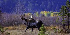 Bull Moose Walking Away #Animal, #Black, #Brown, #Damage, #Dominate, #Green, #Male, #Mammal, #Mate, #MatingRitual, #MatingSeason, #NaturalLighting, #NoPeople, #Outdoors, #PeterRobertsMedia, #Powerful, #Stalking, #Sunshine, #Threat, #Yellow http://goo.gl/nekVIj