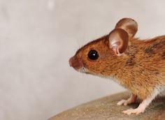 10 efektívnych domácich spôsobov, ako sa zbaviť potkanov rýchlo a jednoducho