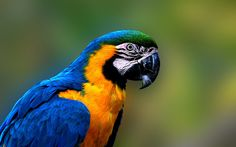 blue and yellow macaw image for large desktop, Tanner Black 2017-03-01