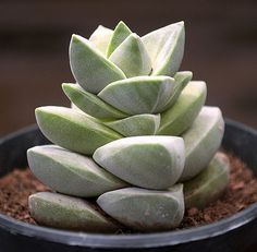 Crassula MOONGLOW - Rare Succulent, 3.5 inch pot with Rooted Plant, not succulent cuttings, Similar to Buddhas Temple, Collectors Plant by ColorfulSucculents on Etsy