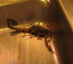 This well-washed scorpion was still alive when I opened the dishwasher the other morning. Didn't need any coffee after that. Photo by Kathleen Scott. More at Hill Country Mysteries: The Wild West