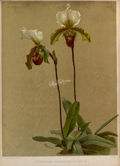 cypripedium leeanum giganteum   ...