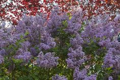 Best Hedges to Plant - Common Purple Lilac, One Of The Fastest Growing Hedges.