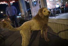 Labradoodle mini-lion