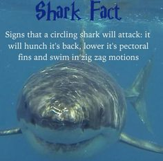 Lowering its pectorial fins swimming back and forth in a zig zag motion is a sign a shark will attack. Shark Pictures, Shark Photos, Save The Sharks, Types Of Sharks, Shark Facts, Marine Biology, Great White Shark, Animal Facts, Ocean Creatures
