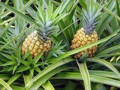 A origem do abacaxi e a época de cultivo desta fruta tropical   Agricola e Pecuaria