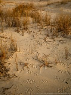Tracks in the Sand, Assateague National Seashore © 2015 Patty Hankins