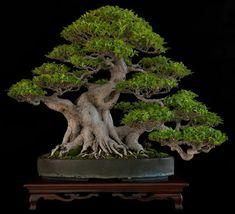 Árbol: Ficus Tiger Bark Altura: 50 cm. Dueño: Nacho Marin. Foto del Facebook del maestro venezolano Nacho Marin.
