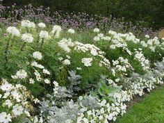 white cosmos, petunias, dusty miller, cleome: it's possible to have a full, lush garden with annuals from seed Garden Cottage, Lush Garden, Dream Garden, Back Gardens, Outdoor Gardens, Landscape Design, Garden Design, White Cosmo, White Gardens