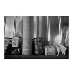 https://flic.kr/p/BYxSvc | Mayu December 2015  #cat #photograph #blackandwhitephotography
