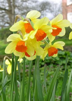 This is my favorite variety of daffodil