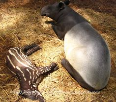 One (or 2) of the things I get to take care of! Momma and baby Tapir! Look just like these ones!