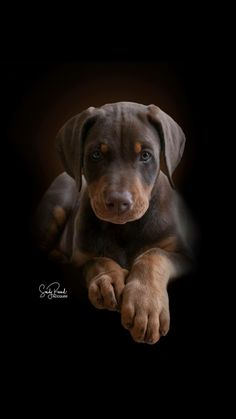 The Doberman Pinscher is among the most popular breed of dogs in the world. Known for its intelligence and loyalty, the Pinscher is both a police- favorite bree Beautiful Dogs, Animals Beautiful, Cute Animals, Kittens And Puppies, Baby Puppies, Perro Doberman Pinscher, Doberman Love, Blue Doberman, Doberman Puppies