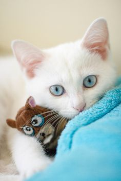 White kitty with blue eyes.