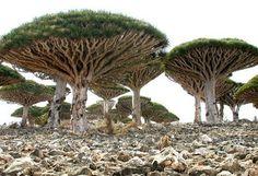 Trees in Yemen by BeccaR685