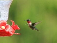 Nectar feeders: Follow these steps to ensure your yard is a safe and nutritious stopover for hummingbirds