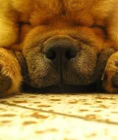 12 Low-Energy Dog Breeds - Chow Chow