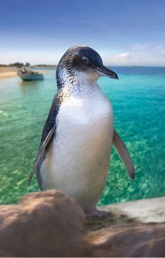 Penguin Island Western Australia www. - : Penguin Island Western Australia www. Beautiful Birds, Animals Beautiful, Cute Animals, Perth Western Australia, Australia Travel, Australia Visa, Visit Australia, Victoria Australia, Great Barrier Reef
