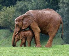 Mother elephant shields her baby from the rain