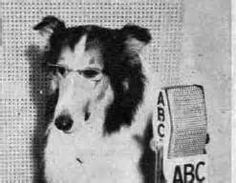 On this day, June 8, in 1947: . The Lassie Show made its debut on ABC radio. Several dogs voiced Lassie's part, but the fictional Lassie hardly changed for her two years. . Lassie on radio was soon replaced on Lassie on TV. For 19 years a destitute family on a farm, and audiences across the country, would be pulled together by Lassie.