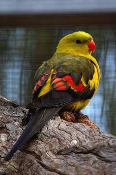 Regent Parrot - SW Australia: Lovely Parrot, Regent Parrot, Fowl, Birds Parrots, Birdie, Beautiful Birds