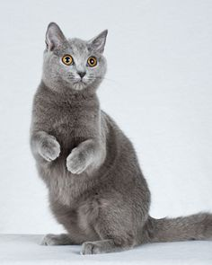 Chartreux  Chartreux quickly become attached to one family and frequently follow their masters from room to room. Known for their doglike behavior, these cats can be taught to fetch a ball, and most will respond to their names.