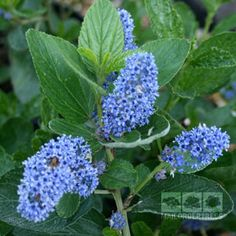 1000 images about ceanothus californian lilac on. Black Bedroom Furniture Sets. Home Design Ideas